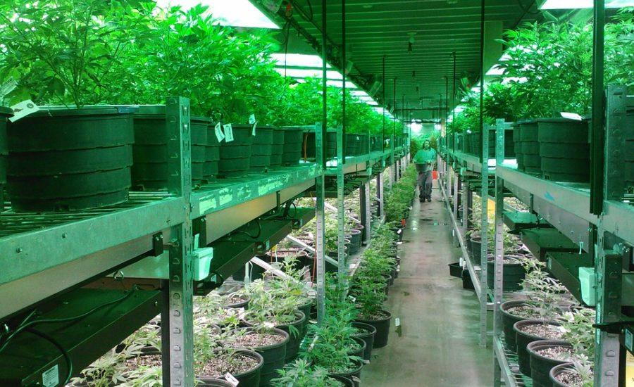 Piantine Autocoltivazione Cannabis