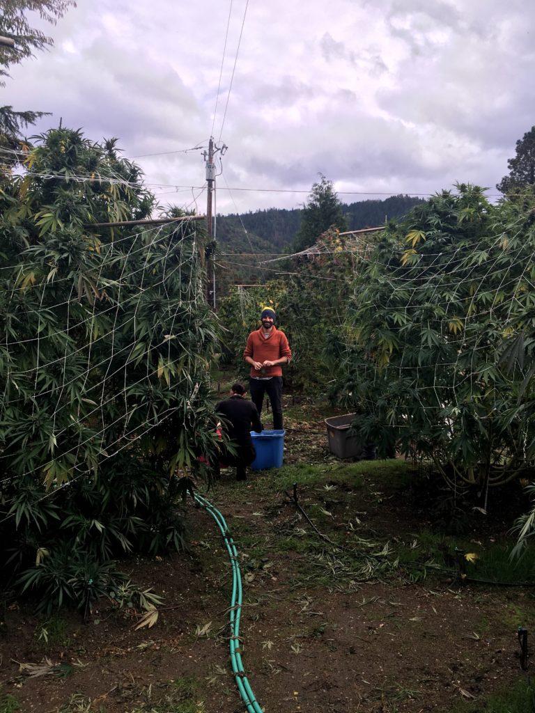 Oregon cannabis 5