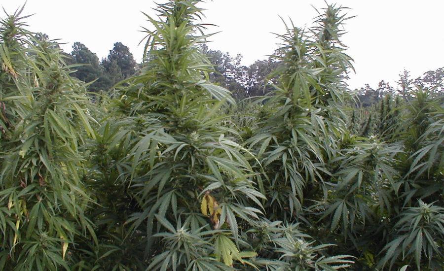 Cannabis Usa equità sociale